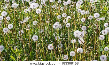 Summer background with the fluffy dandelions cover