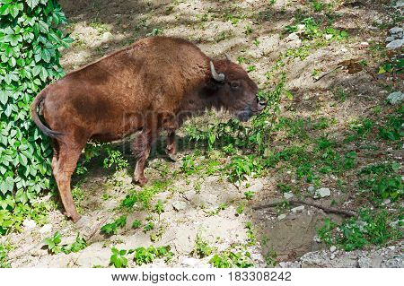 Female bison in the wild nature landscape