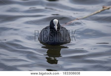 A Coot, Fulica, Swimming On A Loch