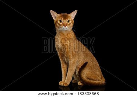 Abyssinian Cat Sitting with curious face, isolated on black background with reflection