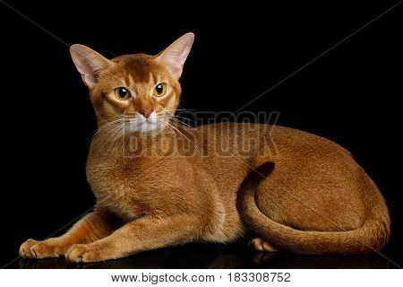 Abyssinian Cat Lying with curious face, isolated on black background with reflection