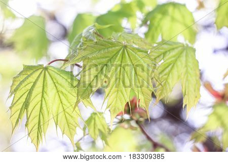 Green maple leaves on a green background