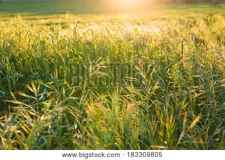 Green meadow. Bright sunset over green field