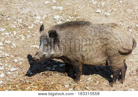 Landscape with side view of a wild pig