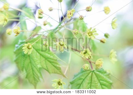 Flowers of a maple tree on a green background