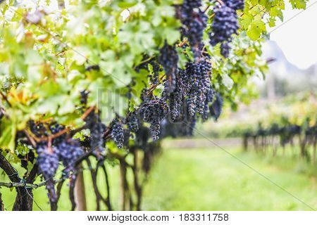 Vine in vineyard Italy, Arco, summer time
