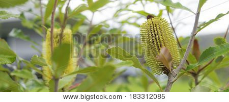 Australian bush native tree panorama Banksia serrata flowers in autumn