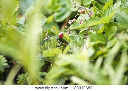 Little wild strawberry in garden, summer time