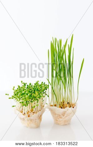 Growing microgreens on white background. Healthy eating concept of fresh garden produce organically grown as a symbol of health