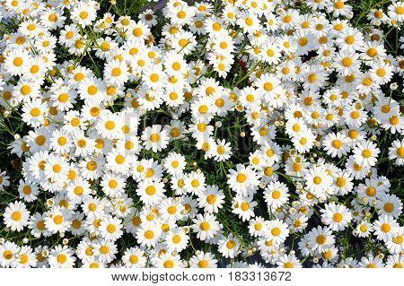 White Flowers Leucanthemum