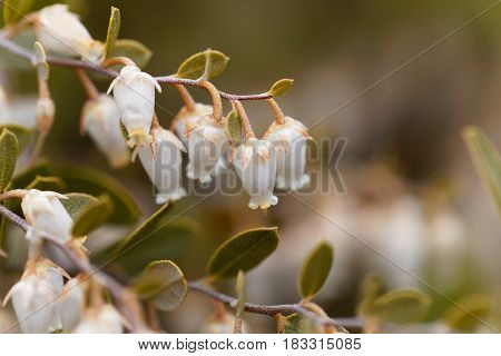 Flowers of a Chamaedaphne calyculata bush a plant from bogs and swamps in Northern Europe.