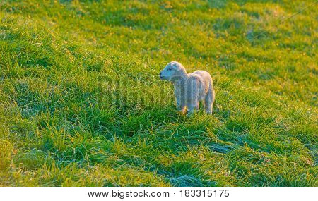 Lamb in a meadow on a dike in spring
