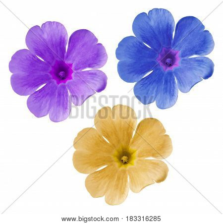 Set blue-yellow-purple flowers. Garden violets. White isolated background with clipping path. Closeup. no shadows. Nature.