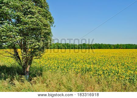 Yellow field of sunflowers against a clear, blue sky