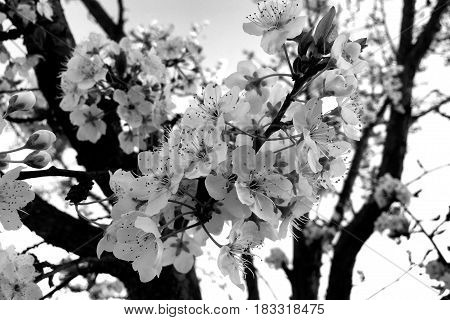 Plum Tree In Full Blossom In Black And White
