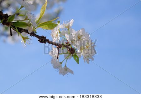 Plum tree in full blossom and blue sky -2