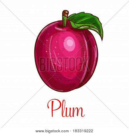 Plum fruit sketch. Vector isolated icon of fresh prune species with leaf. Sweet juicy whole plum fruit symbol for jam and juice product label or grocery store, shop and farm market design