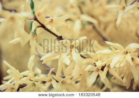 Blossoming yellow bush on a yellow background