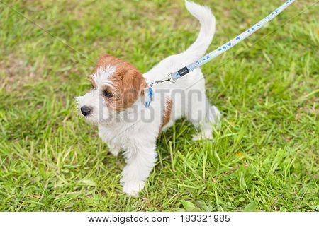 Cute Jack Russel Terrier In Park