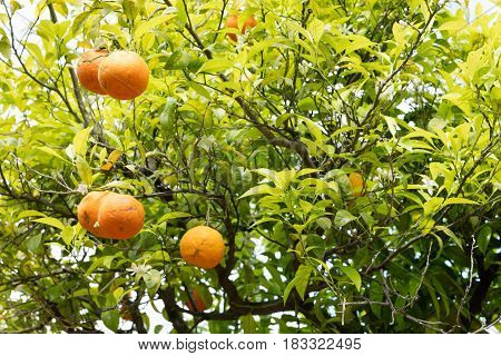 Orange tree branches with fruits close-up in Sorrento