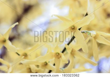 Flowers of a vanilla tree on a yellow background