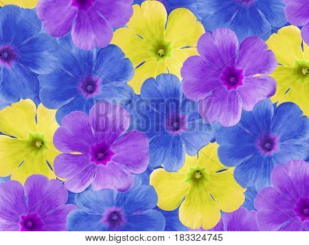 Blue purple yellow violets flowers. Garden flowers. Closeup. For designers For background. Nature.