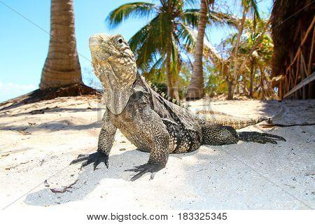 Cyclura nubila Cuban rock iguana on the sand beach