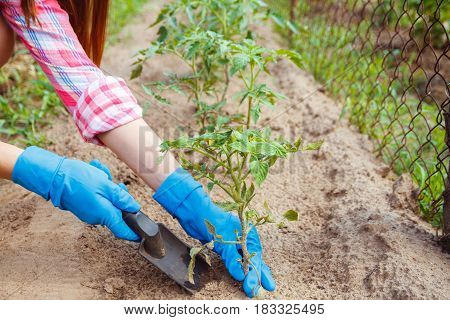 Woman farmer takes care of the plants on the plantation