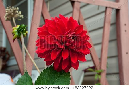 Bright red single blossomed flower of a dahlia