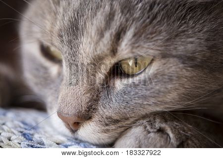 Detail of a beautiful soft tabby cat lying on its owner's shoulder and purring. Selective focus