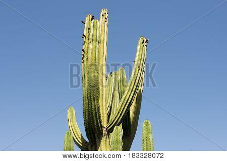 Tall saguaro cactus over blue sky background
