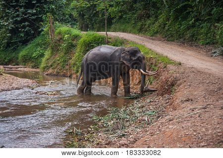 Scenic image of an elefant standing in mud river in the rain forest of Khao Sok sanctuary, Thailand