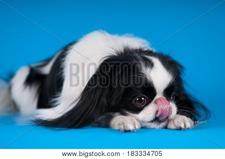 Purebred japanese hin studio portrait on blue background with head down