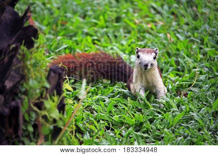 Squirrel on green grass outdoor at the park
