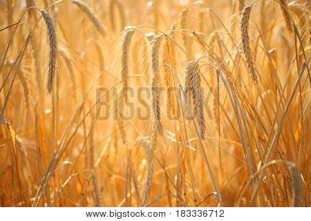 Close up of ripe wheat ears. Beautiful backdrop of ripening ears of golden field. Nature background