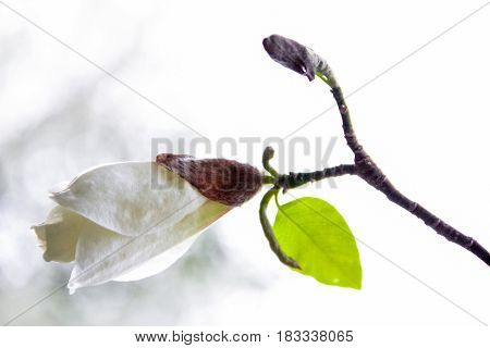 Bud of the white magnolia on a white background