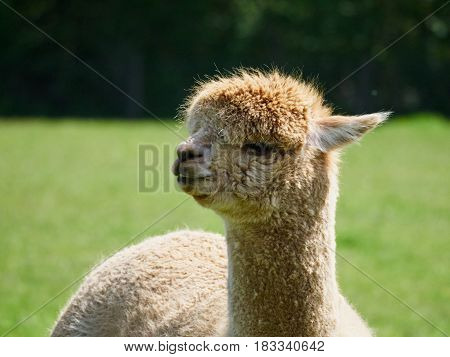 Portrait of an Alpaca near the South Downs West Sussex