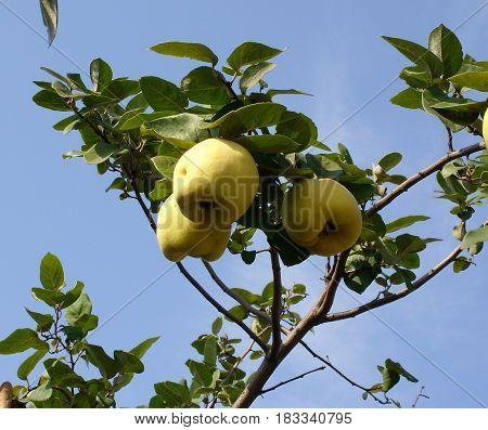 Quince fruits on a branch in the garden