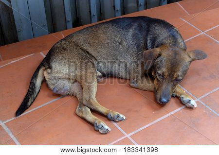 Street Dog Lying Down on Ground in Thai Temple.