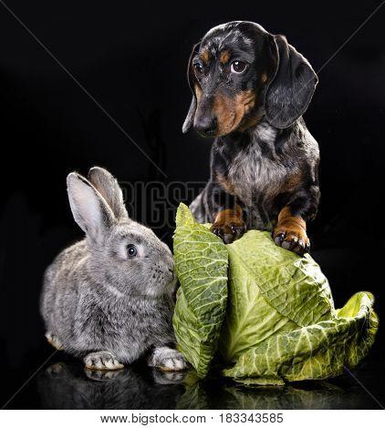 Dachshund and rabbit small