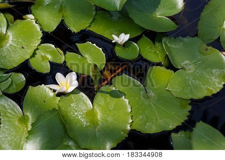 White lotus or water lily in pond