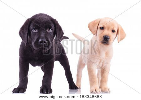 two curious little labrador retriever puppies standing together on white background