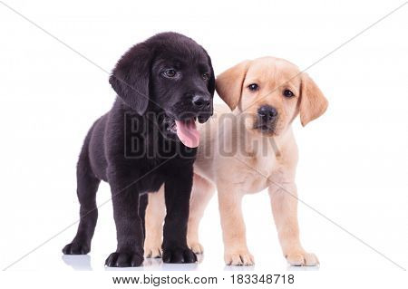 two cute labrador puppies on white background, one looks to side and one to the camera
