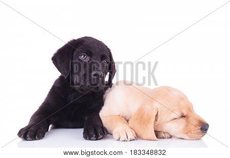 yellow labrador retriever puppy sleeping next to its brother on white background
