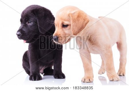 side view of two cute labrador retriever puppies looking away from the camera on white background