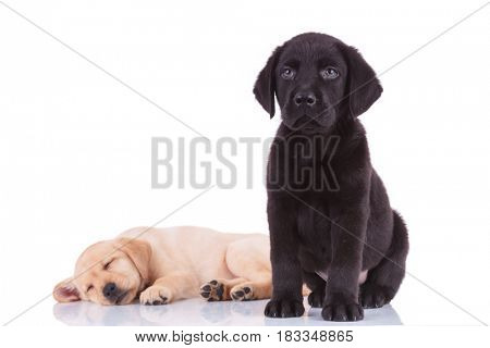 black labrador retriever puppy sitting in front of sleeping brother on white background