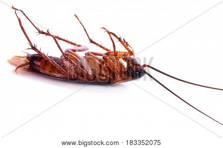 Dead cockroach on white background  cockroach, closeup, isolated, brown, macro, dirty
