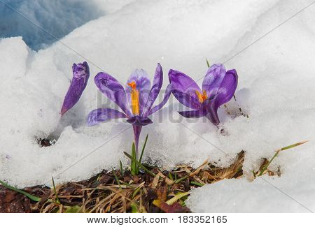 Spring violet crocuses flowering from the snow towards spring sun