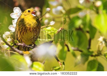 yellowhammer of spring pear blossom sings the song, forest birds and wildlife