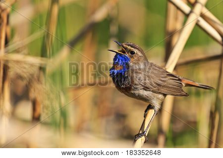 bluethroat colored bird sings the song, forest birds and wildlife